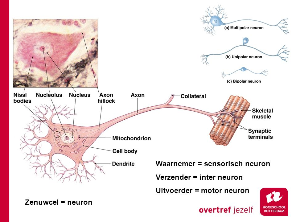 Waarnemer = sensorisch neuron