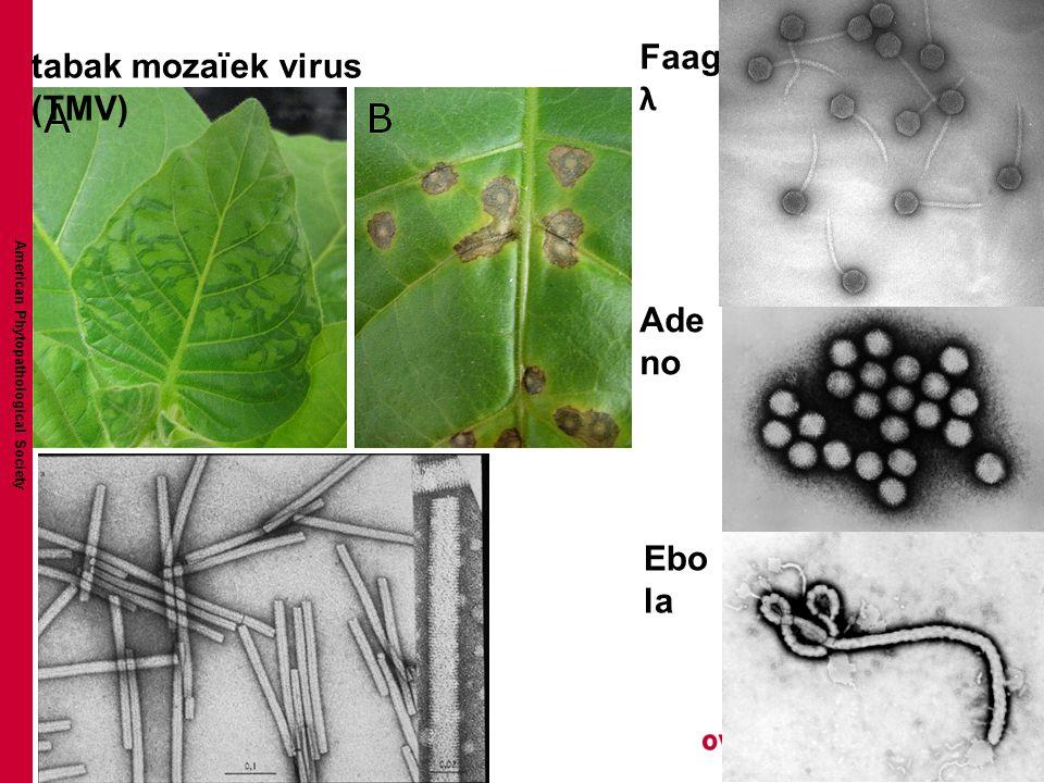 tabak mozaïek virus (TMV)