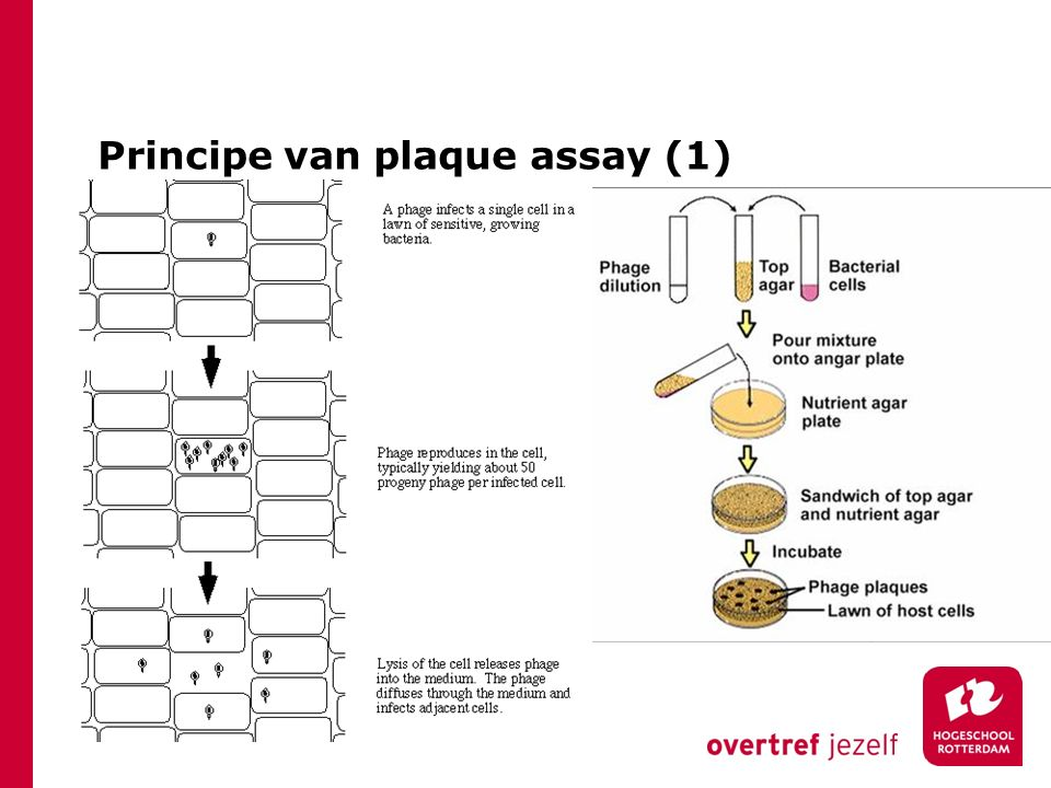 Principe van plaque assay (1)