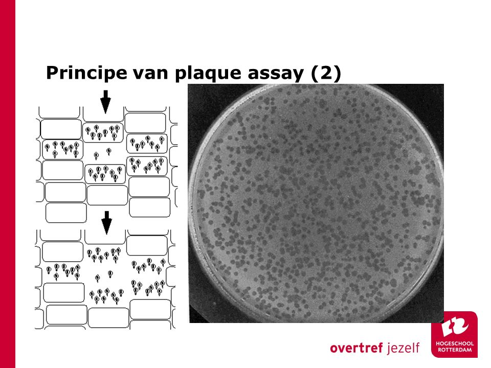 Principe van plaque assay (2)