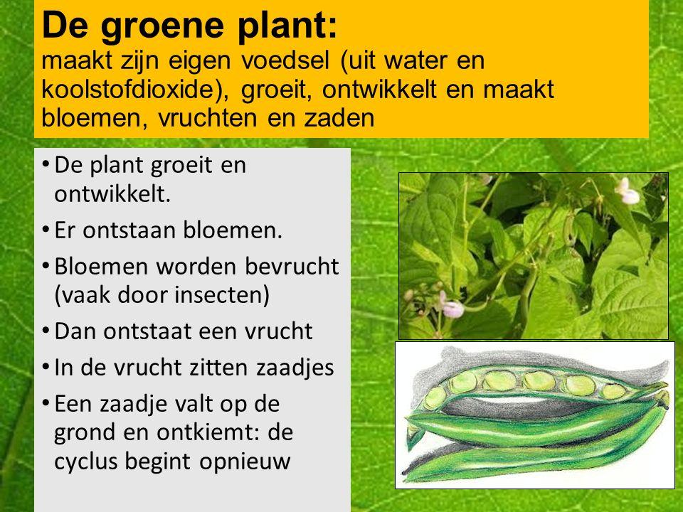De groene plant: maakt zijn eigen voedsel (uit water en koolstofdioxide), groeit, ontwikkelt en maakt bloemen, vruchten en zaden