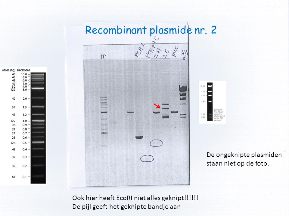 Recombinant plasmide nr. 2