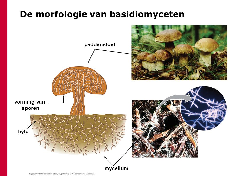 De morfologie van basidiomyceten