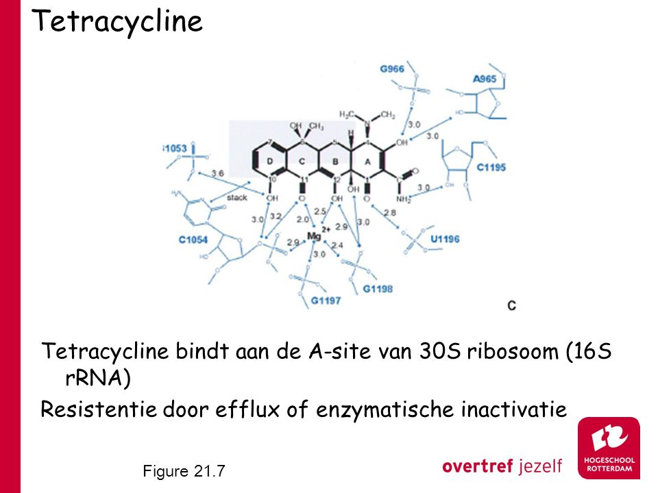 Tetracycline Tetracycline bindt aan de A-site van 30S ribosoom (16S rRNA) Resistentie door efflux of enzymatische inactivatie.