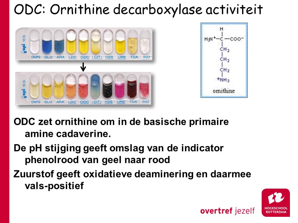 ODC: Ornithine decarboxylase activiteit