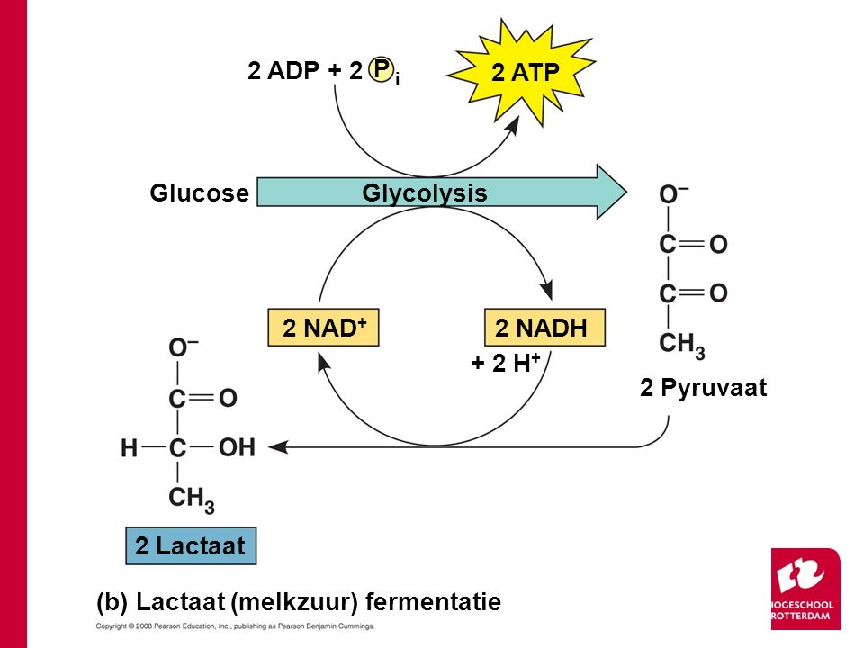 (b) Lactaat (melkzuur) fermentatie