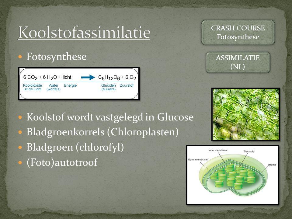 Koolstofassimilatie Fotosynthese Koolstof wordt vastgelegd in Glucose