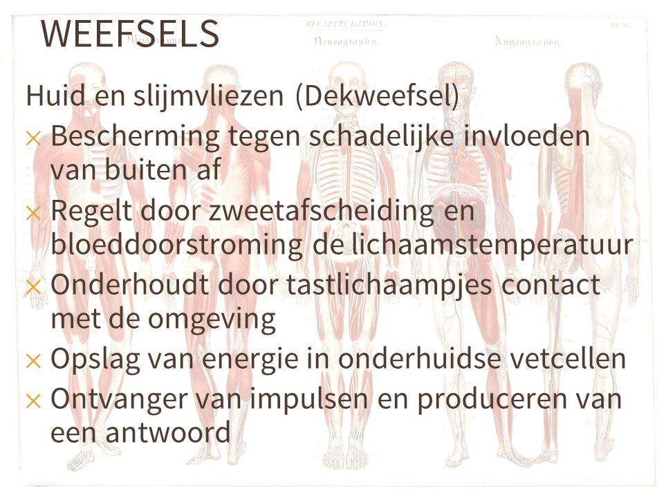 WEEFSELS Huid en slijmvliezen (Dekweefsel)