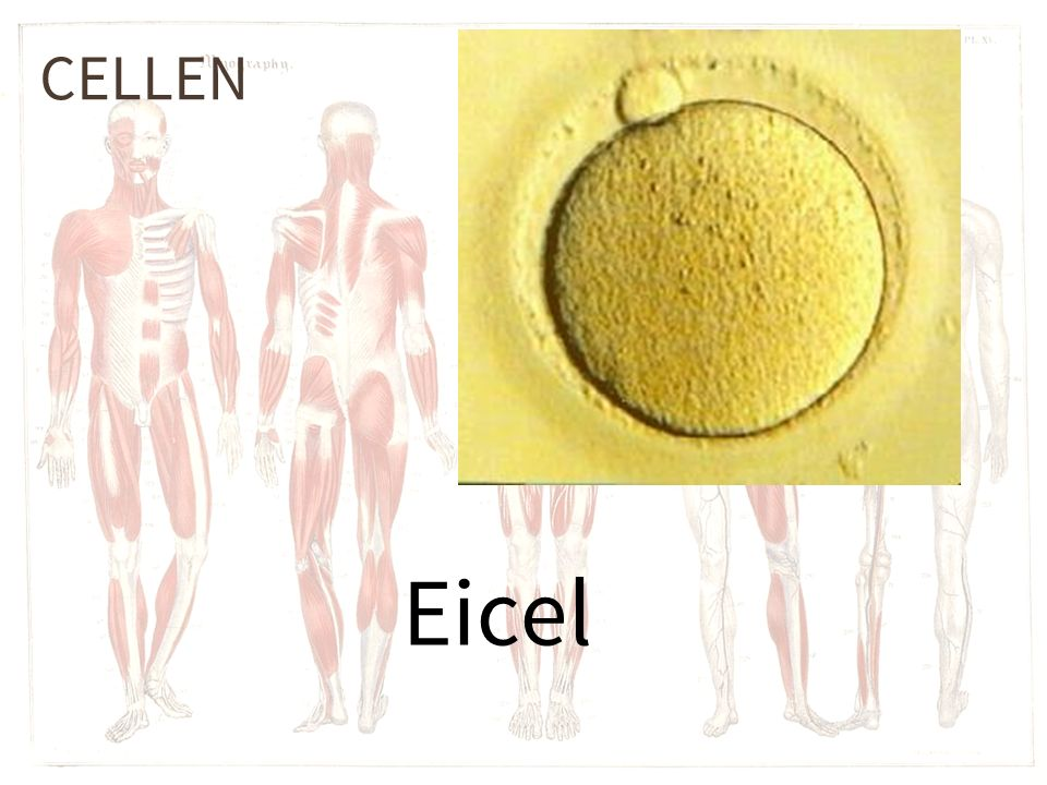 CELLEN Eicel