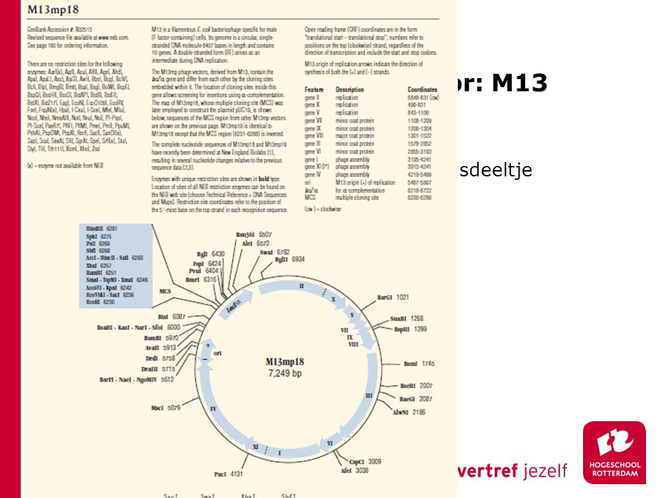 Bacteriofaag als kloneervector: M13 NEB cat. p370