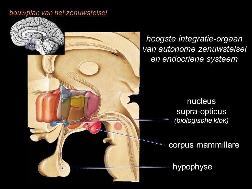 hoogste integratie-orgaan van autonome zenuwstelsel
