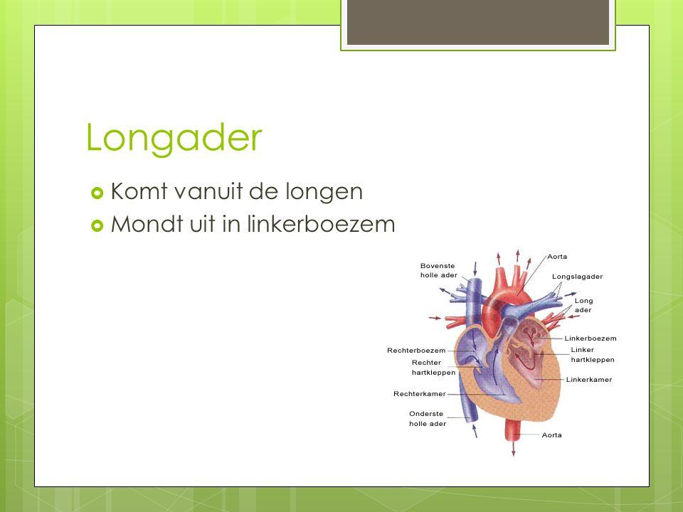 Longader Komt vanuit de longen Mondt uit in linkerboezem