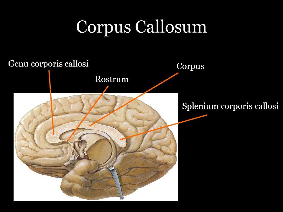 Corpus Callosum Genu corporis callosi Corpus Rostrum
