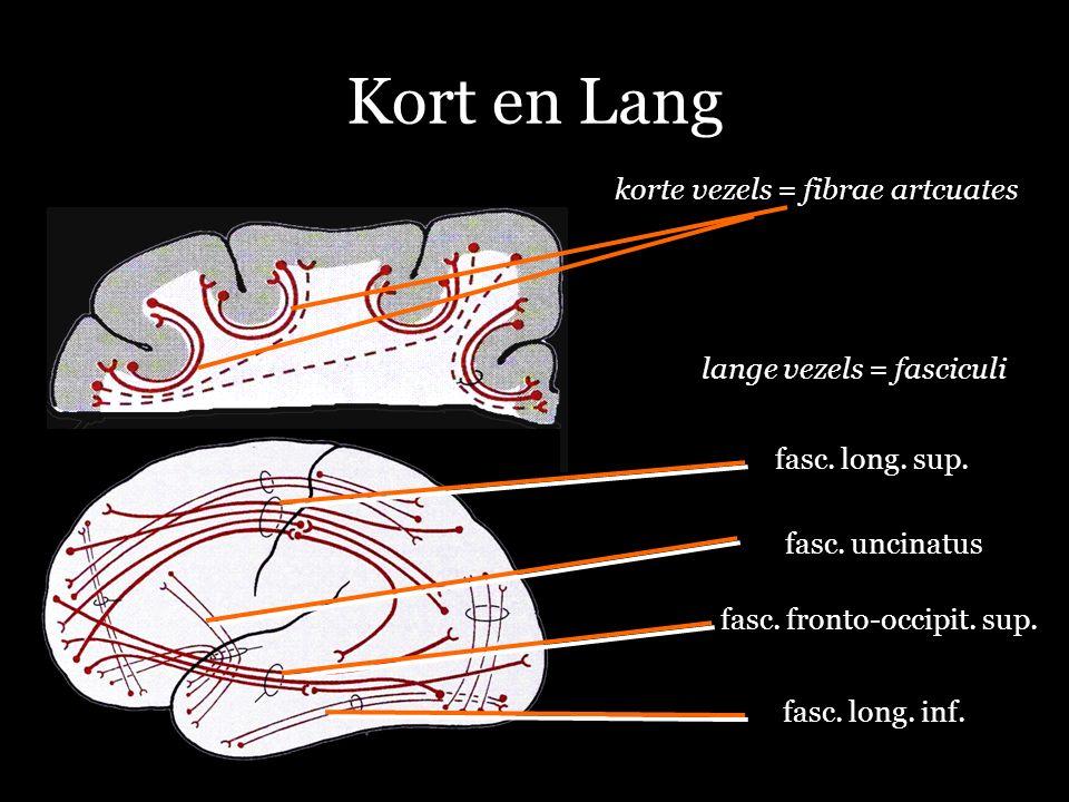 Kort en Lang korte vezels = fibrae artcuates lange vezels = fasciculi