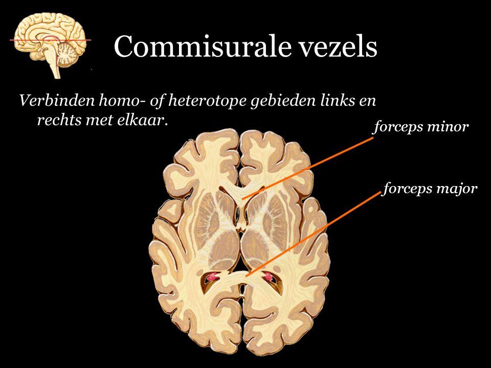 Commisurale vezels Verbinden homo- of heterotope gebieden links en rechts met elkaar. forceps minor.