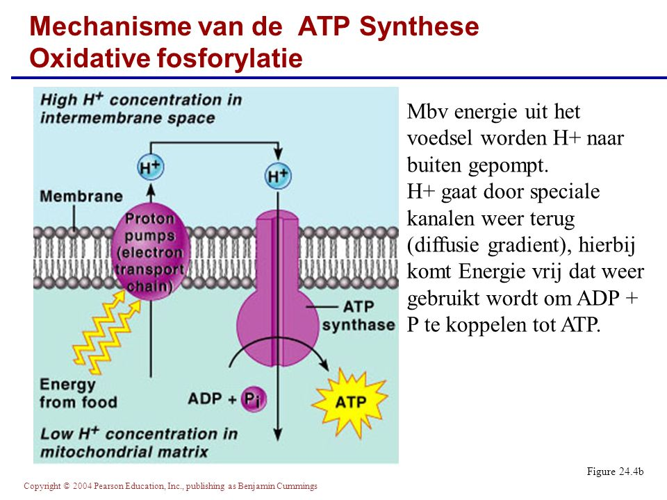 Mechanisme van de ATP Synthese Oxidative fosforylatie