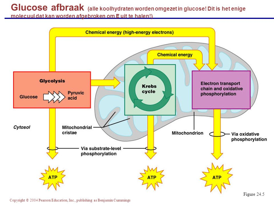 Glucose afbraak (alle koolhydraten worden omgezet in glucose