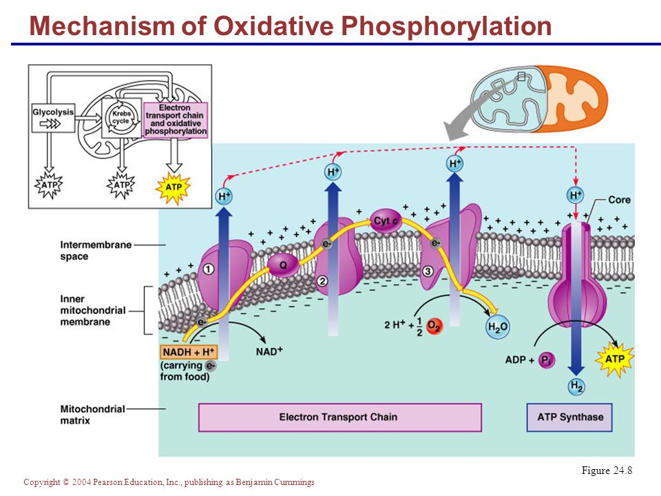 Mechanism of Oxidative Phosphorylation