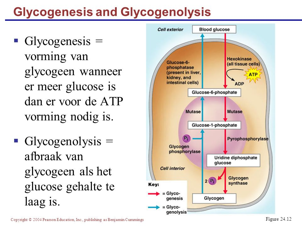 Glycogenesis and Glycogenolysis