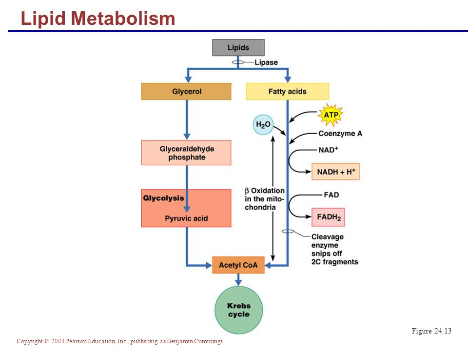 Lipid Metabolism Figure 24.13