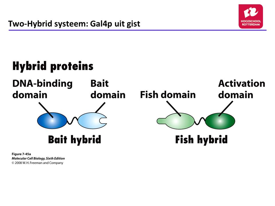 Two-Hybrid systeem: Gal4p uit gist