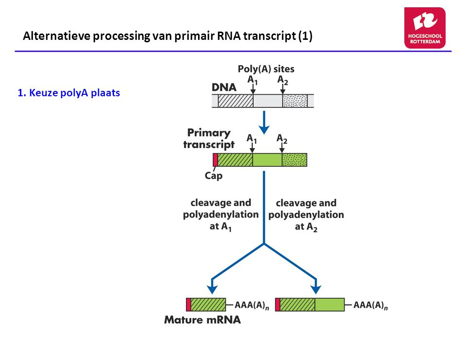 Alternatieve processing van primair RNA transcript (1)