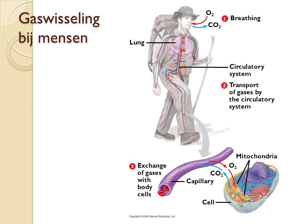 Gaswisseling bij mensen