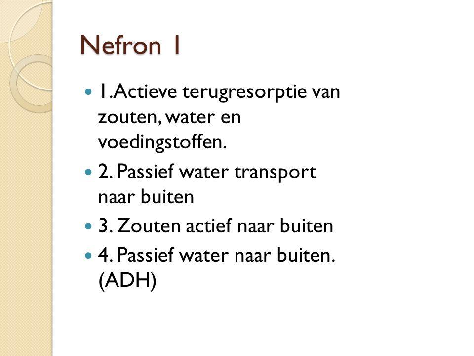 Nefron 1 1.Actieve terugresorptie van zouten, water en voedingstoffen.