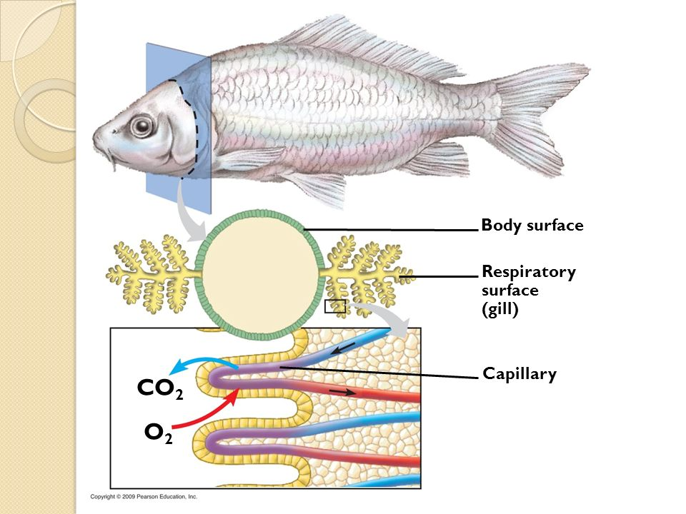 CO2 O2 Body surface Respiratory surface (gill) Capillary
