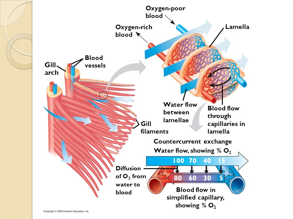 Gill arch 100 70 40 15 80 60 30 5 Oxygen-poor blood Oxygen-rich