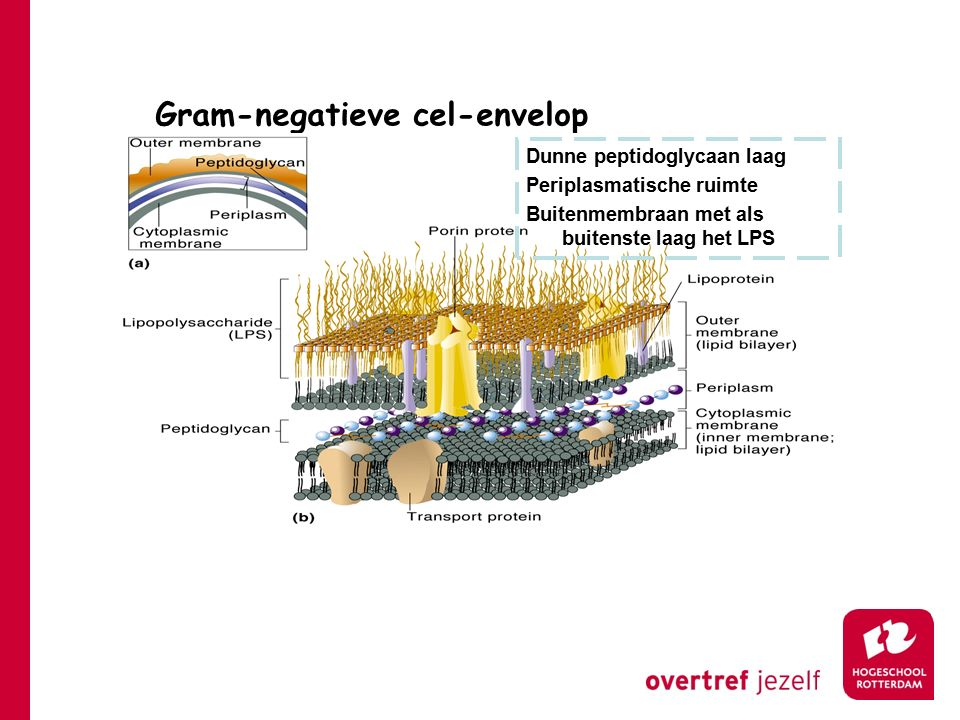 Gram-negatieve cel-envelop