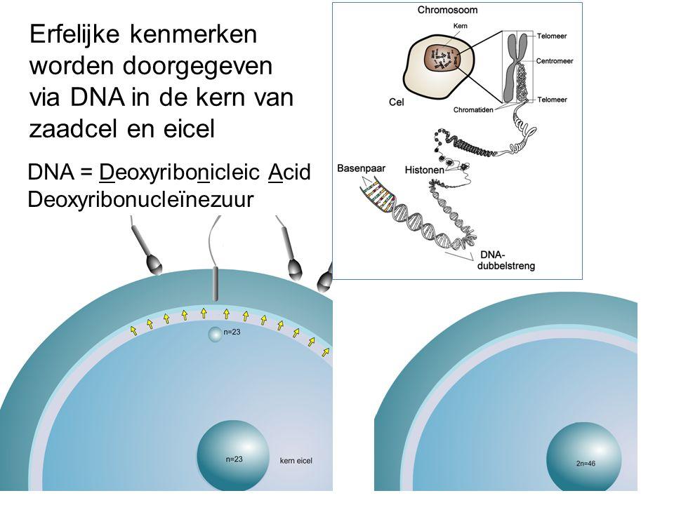 Erfelijke kenmerken worden doorgegeven via DNA in de kern van zaadcel en eicel