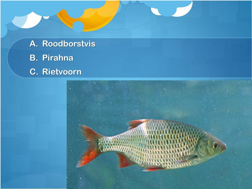 Roodborstvis Pirahna Rietvoorn