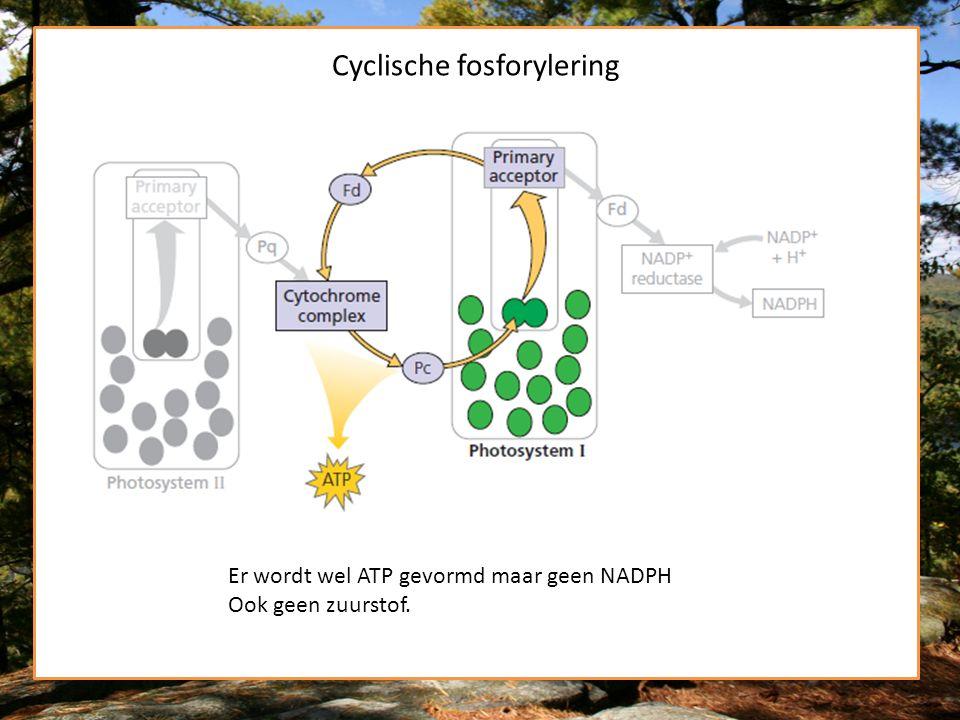 Cyclische fosforylering