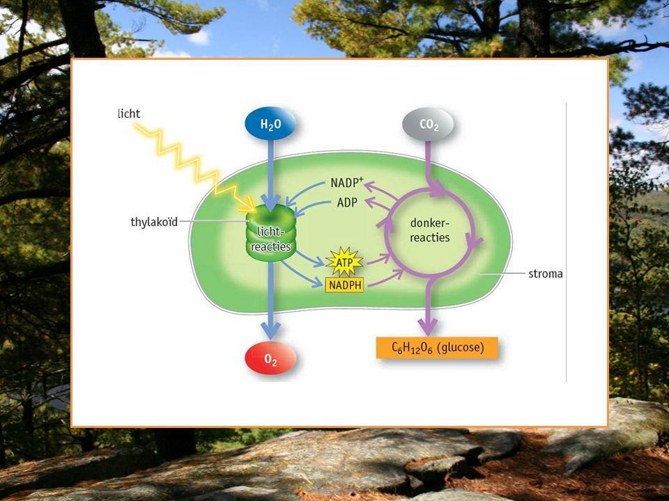 Lichtreactie vindt plaats in het thylakoid membraan van de chloroplast