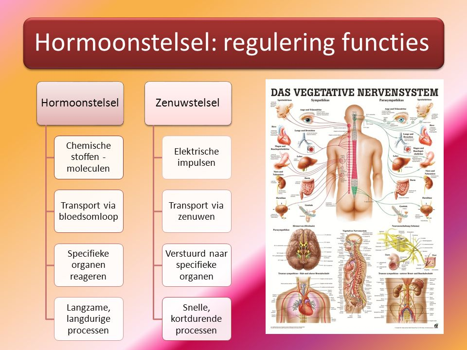 Hormoonstelsel: regulering functies