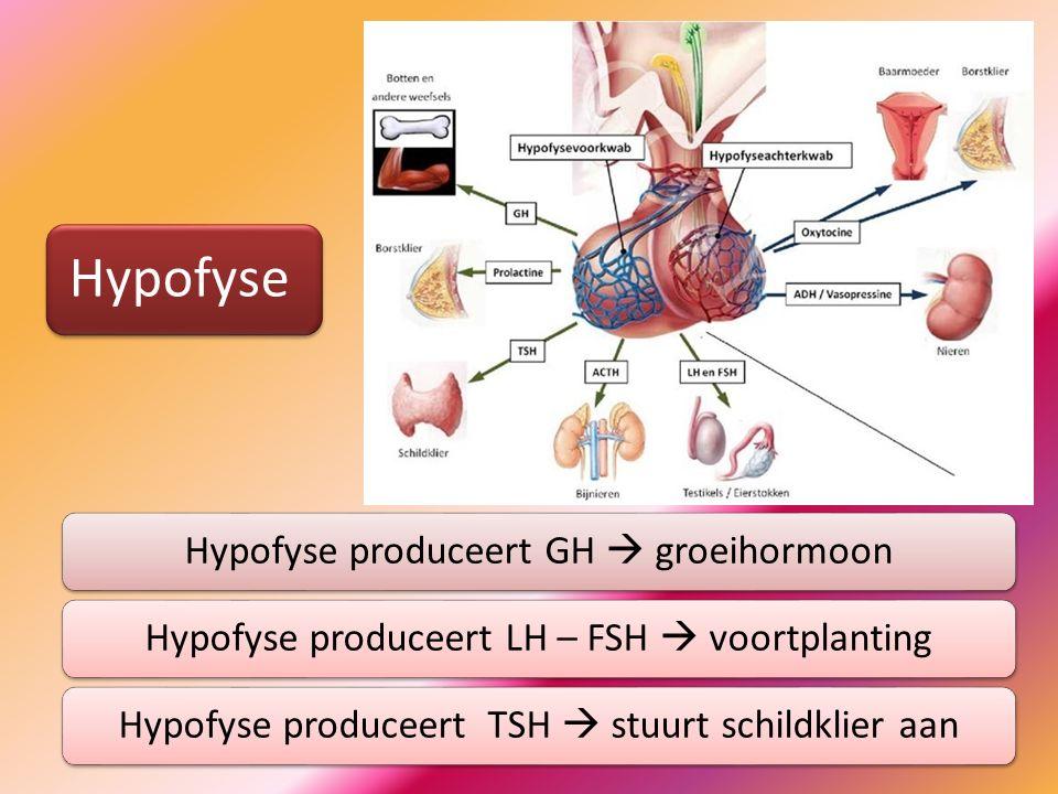 Hypofyse Hypofyse produceert GH  groeihormoon