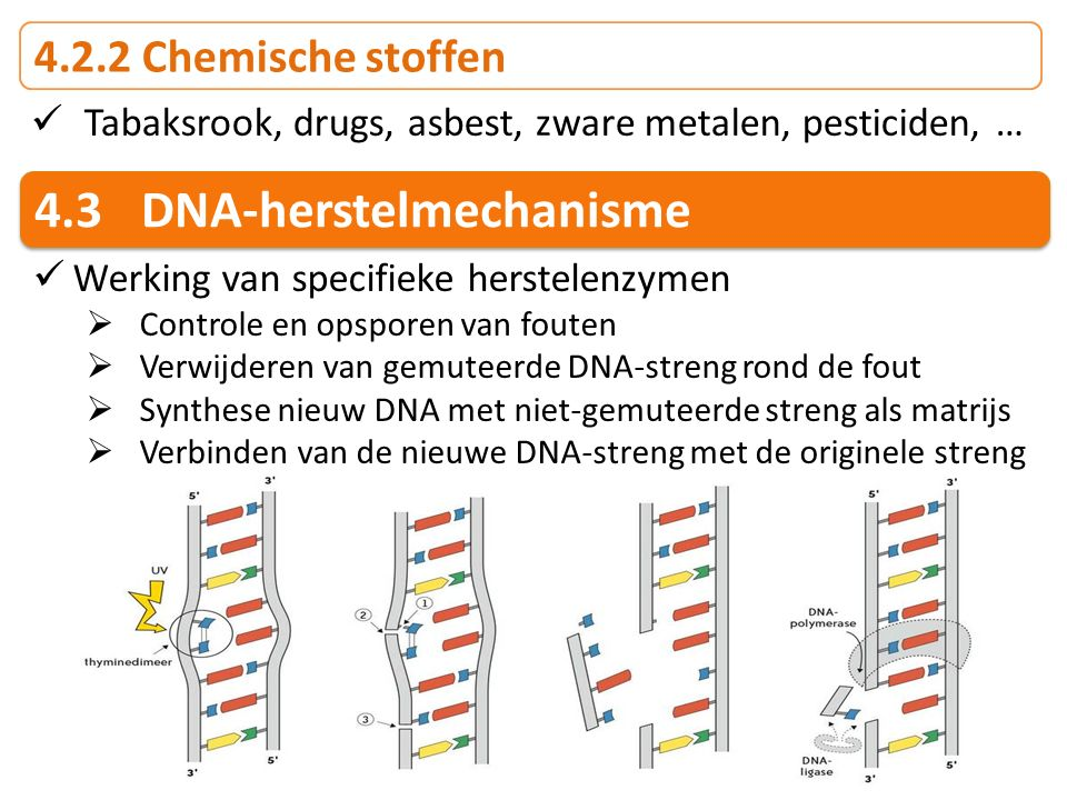 4.3 DNA-herstelmechanisme