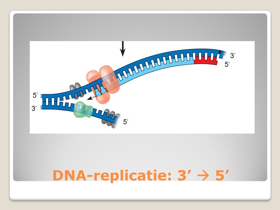 3' 5' 5' 3' 5' DNA-replicatie: 3'  5'