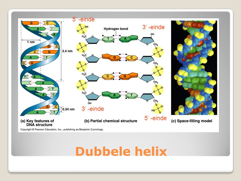 5' -einde 3' -einde 3' -einde 5' -einde Dubbele helix