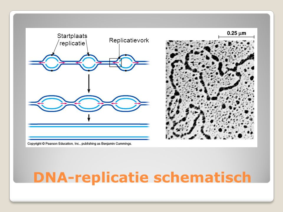 DNA-replicatie schematisch