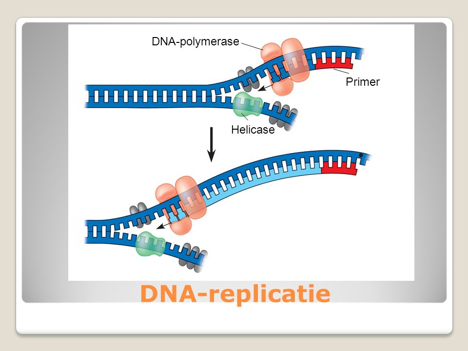 DNA-polymerase Primer Helicase DNA-replicatie