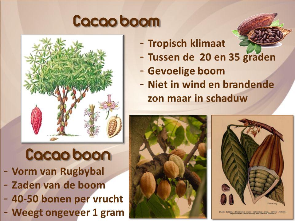 Cacao boom Cacao boon Tropisch klimaat Tussen de 20 en 35 graden
