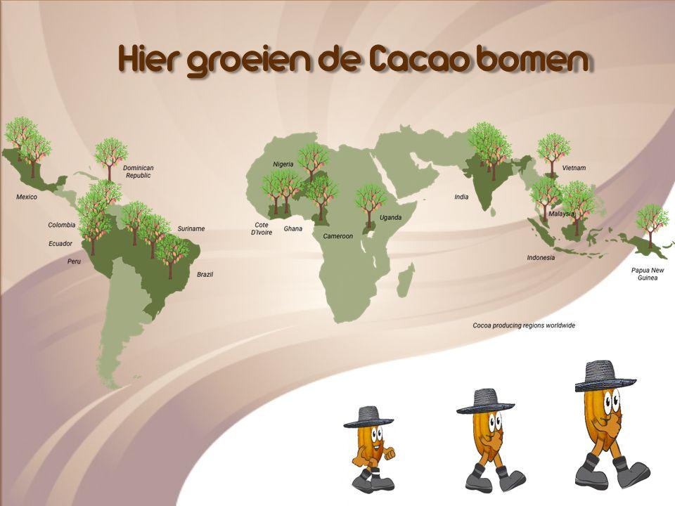 Hier groeien de Cacao bomen