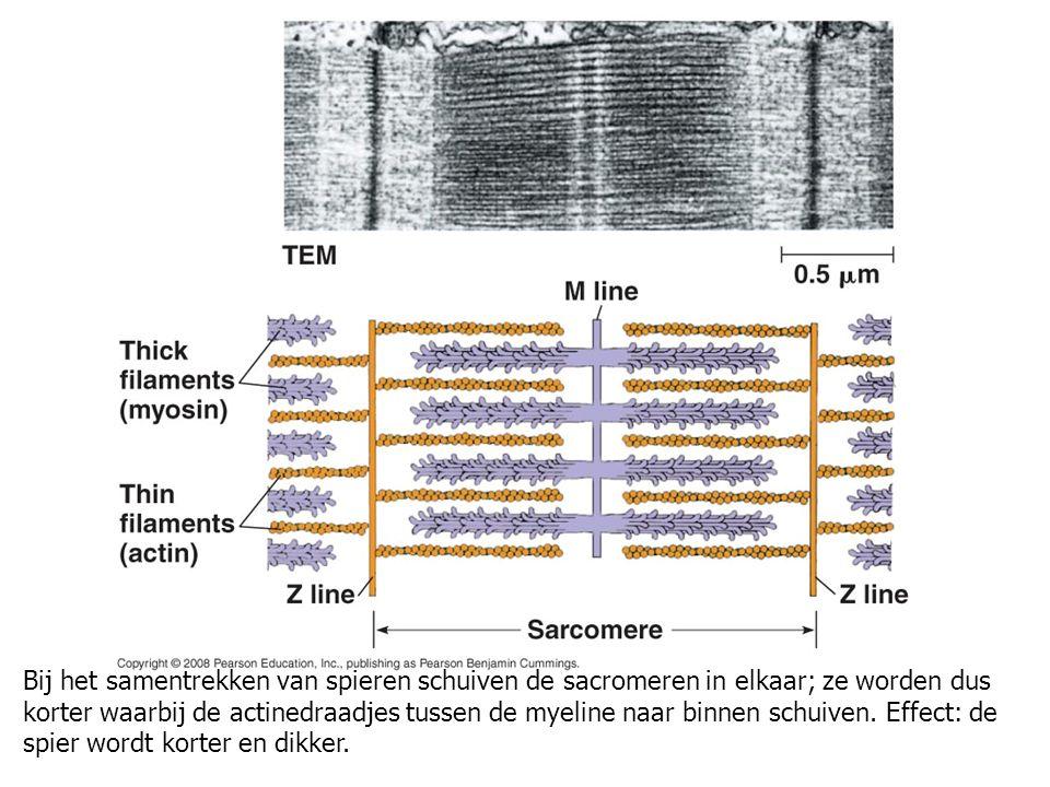 Bij het samentrekken van spieren schuiven de sacromeren in elkaar; ze worden dus korter waarbij de actinedraadjes tussen de myeline naar binnen schuiven.