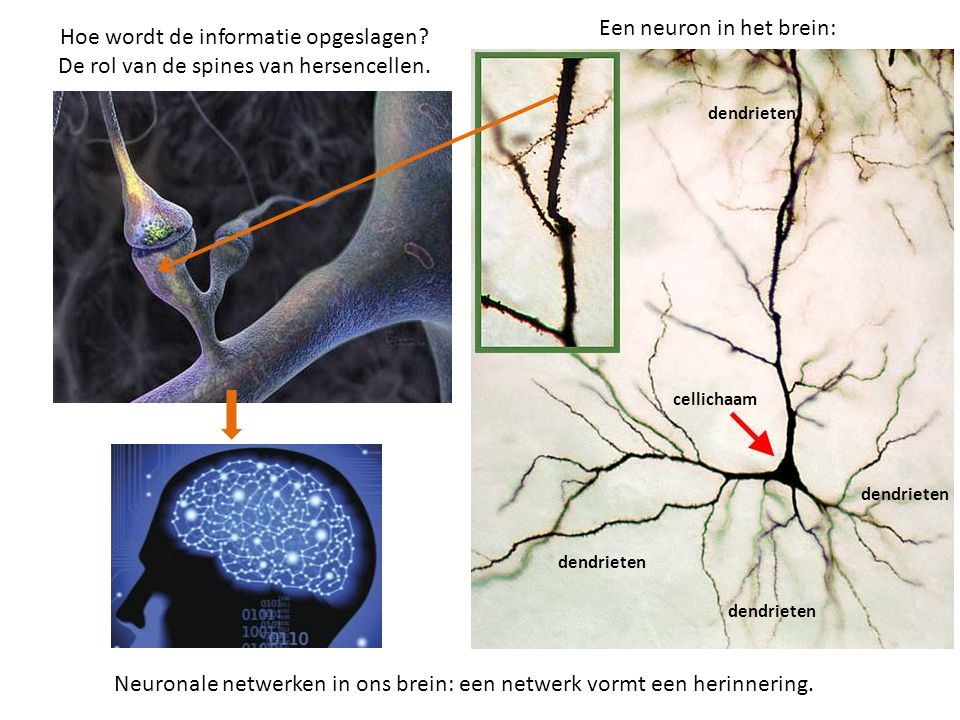Een neuron in het brein: Hoe wordt de informatie opgeslagen