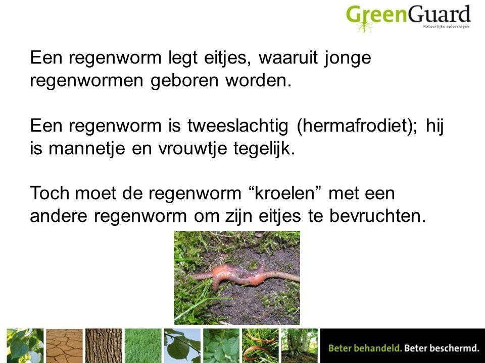 Een regenworm legt eitjes, waaruit jonge regenwormen geboren worden