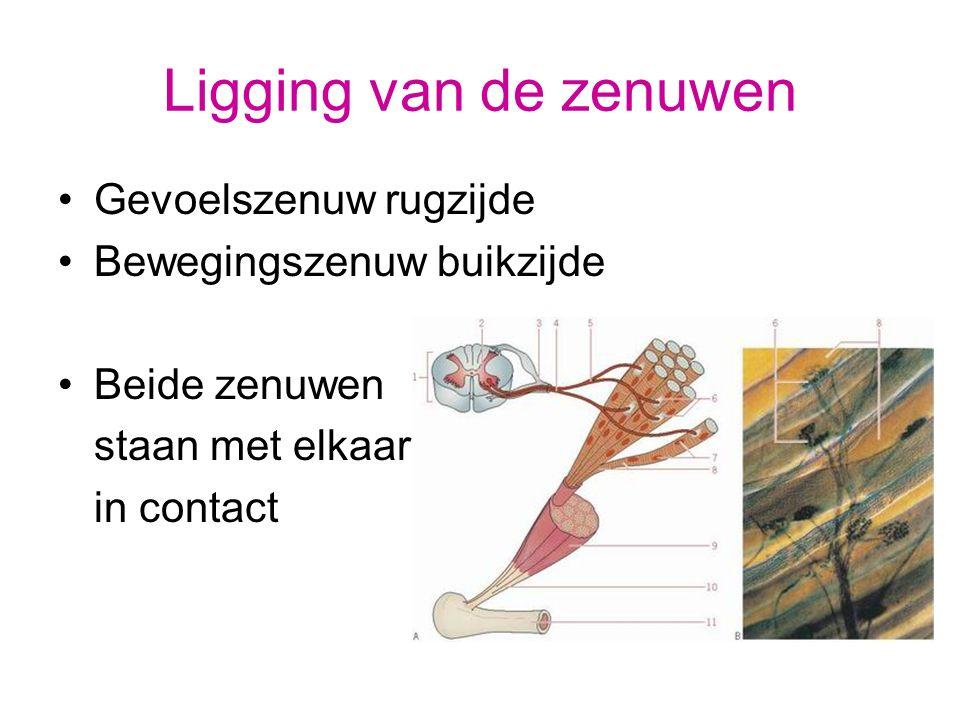 Ligging van de zenuwen Gevoelszenuw rugzijde Bewegingszenuw buikzijde
