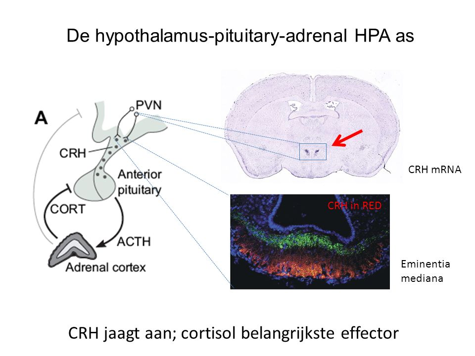 De hypothalamus-pituitary-adrenal HPA as