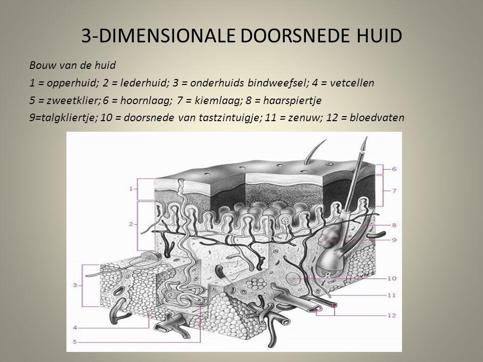 3-DIMENSIONALE DOORSNEDE HUID